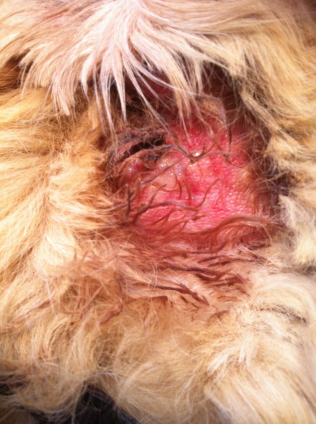Home Treatment For Wet Eczema In Dogs