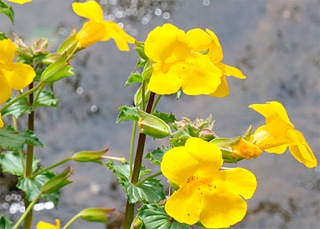 Mimulus - Bach Flower Essence Fear of Known Things
